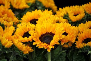 sunflower-378270_1280