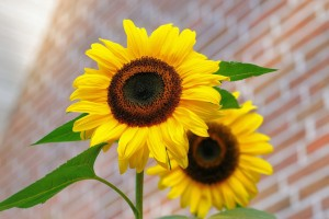 sunflower-448654_1280